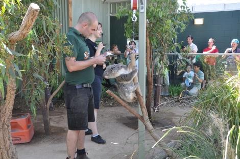 Koala Weigh-in Day